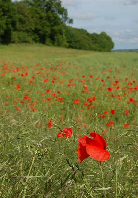 Poppies-at-Ranscombe-4-(c)-